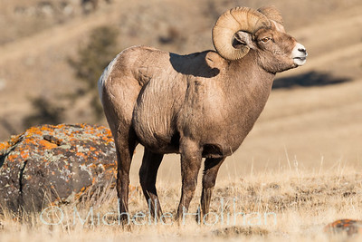 Bighorn ram scenting the air