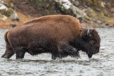 Bull bison crossing the River