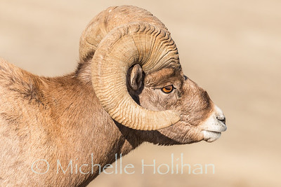 Bighorn ram in the sun.