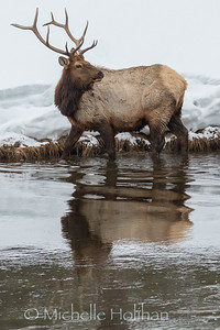 Bull elk and reflection