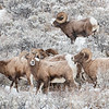 Bighorn Sheep in Yellowstone by David Sparks in January 2019
