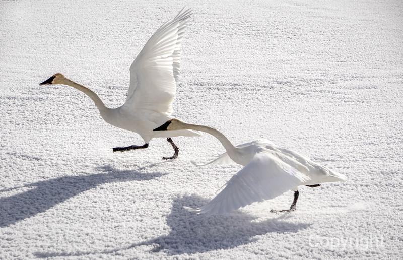 Trumpeter Swans Take Flight