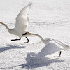 Trumpeter Swans Take Flight
