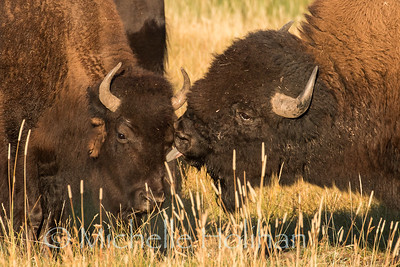 Bull bison giving a cow a kiss during the mating season
