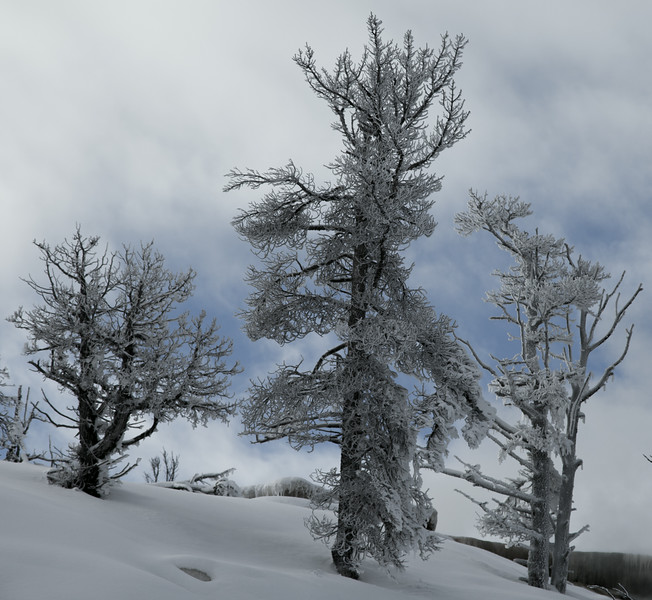 Frozen trees at Mammoth terraces