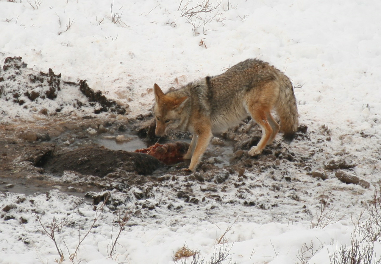 Coyote feeding on a dead bison