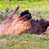 "Yellowstone bison taking a ""dust bath"""