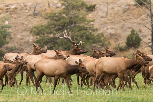 Bull elk herding females