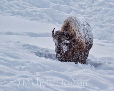 Bull Bison in the snow