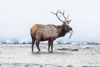 Lone bull elk pulling vegetation out of the shallows of the Madison River in Yellowstone National Park.