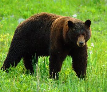 Yellowstone Black Bears 014