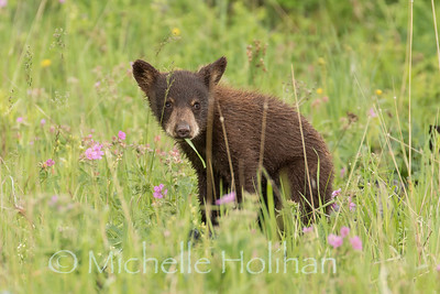Cinnamon Black Bear Cub