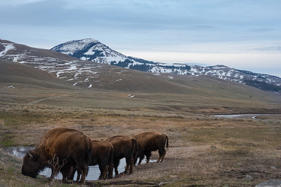 Bison congregating at the local watering hole in Yellowstone NP