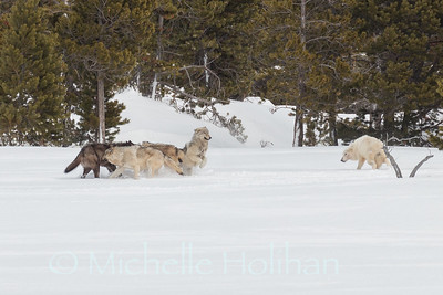 Canyon Pack wolves greeting each other
