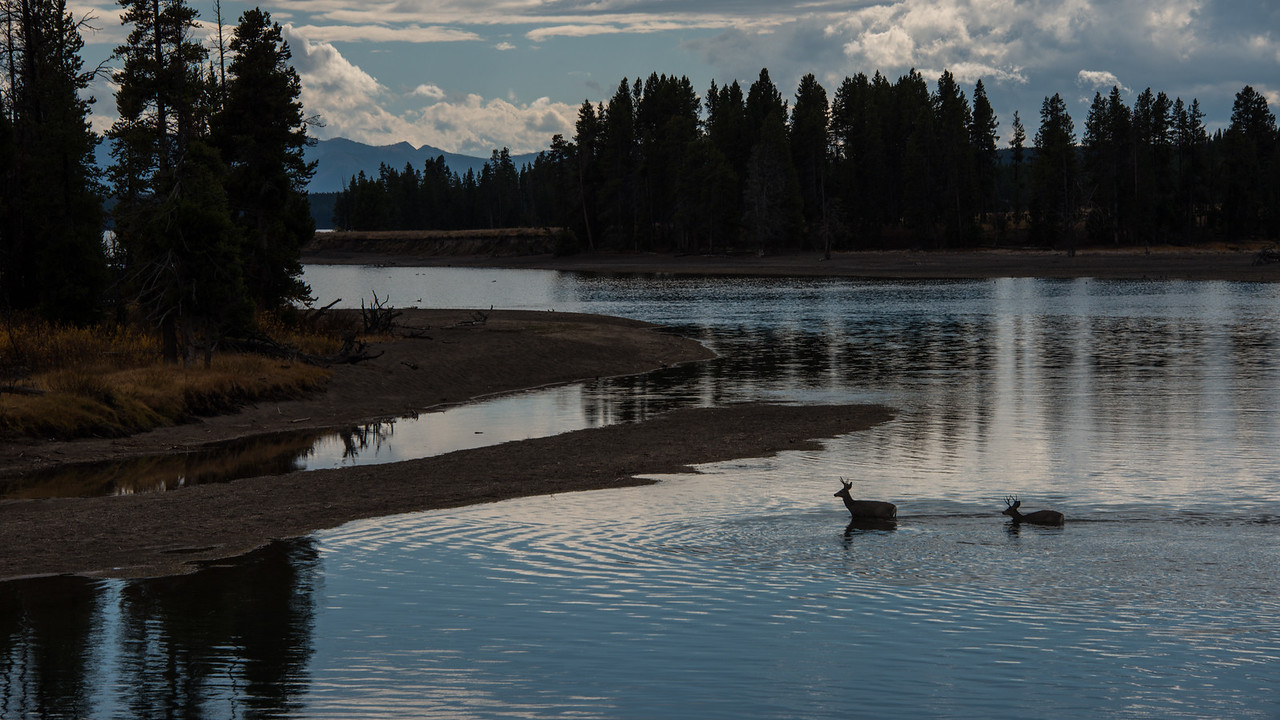 Deer crossing the Yellowstone River