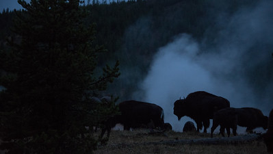 Bison at dusk near the Firehole River in Yellowstone