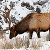 bull elk in Yellowstone January 2019 by Mike Rudahl