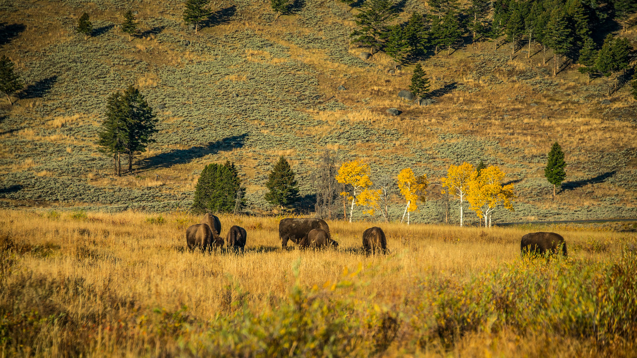 Bison herd near Roosevelt Lodge in Yellowstone National Park