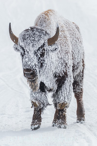 Bison covered with frost