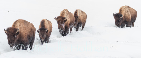 Bison trekking through the snow