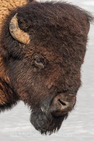 Bull bison profile