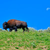 A lone bison ambles along a ridge, morning moon in the background, in Yellowstone National Park.