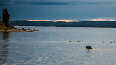 Bear fishing in Yellowstone Lake