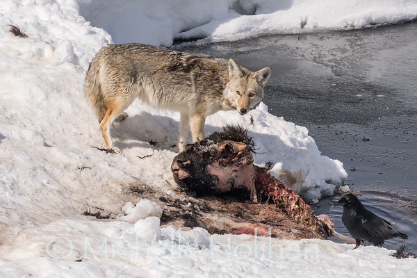 Coyote feeding on a bison carcass.