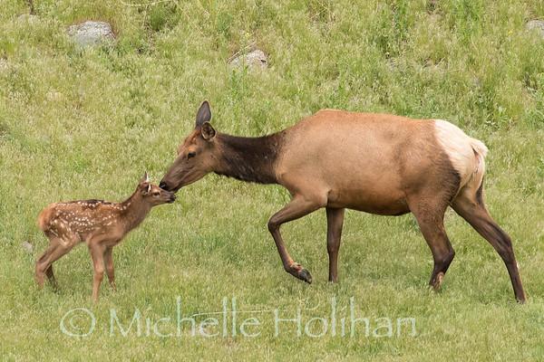 Elk kiss