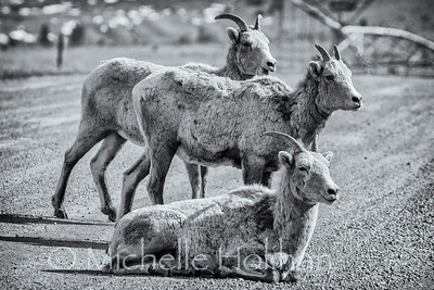 Bighorn sheep ewes