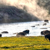 A herd of bison crossing the Yellowstone River