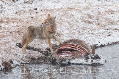 Coyote feeding on a bison