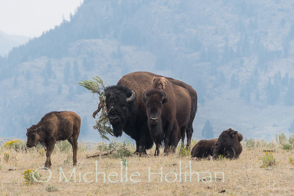 Bull bison trying to impress a cow with a giant sage brush hat.