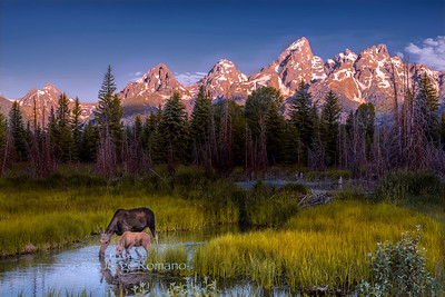 Moose with calf drinking water on the Snake River at sunrise.