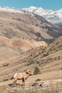 Bighorn ram in front of the Beartooth Mountains