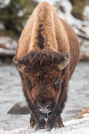 Large bull bison