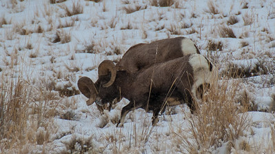 Bighorn sheep and ewe