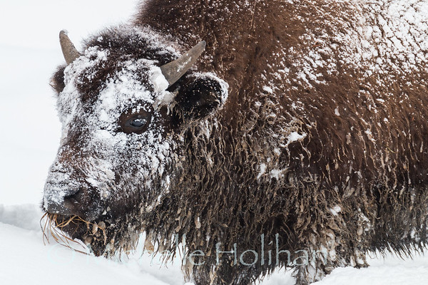 Bison calf feeding in the deep snow of Yellowstone.