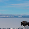 Bison at Yellowstone Lake by David Sparks in January 2019