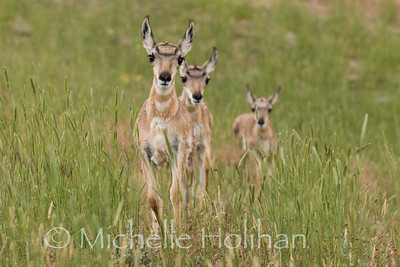 Three pronghorn fawns