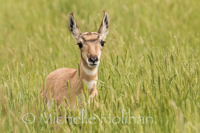 Pronghorn fawn in the tall grass