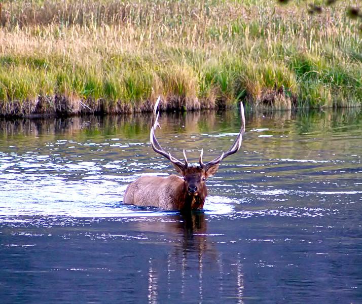 Bull elk crossing the Madison River