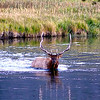 Bull elk crossing the Madison River