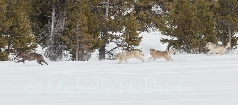 Canyon Pack wolves running through the snow.