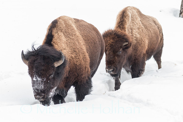 Bull and cow bison moving through the snow