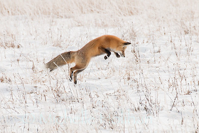 Red fox pounce