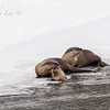 River Otters, Lamar Valley, Yellowstone NP  By Andy Lee  1/29/18