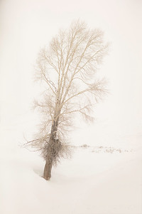 Cottonwood tree in fog