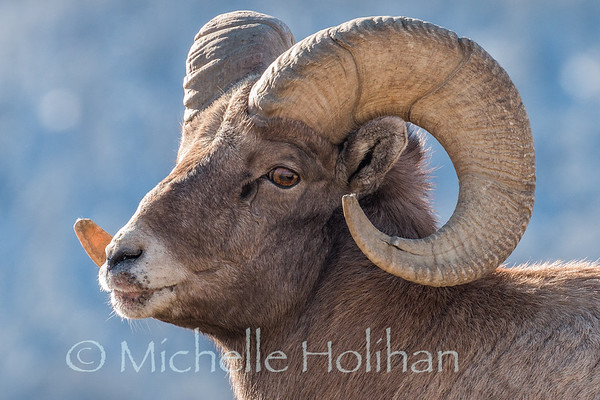 Bighorn ram showing signs of sore mouth disease