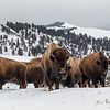 Bison, Lamar Valley, Yellowstone NP.  By Andy Lee  2/3/18